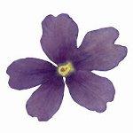 @ Eisenkrautblüten getrocknet violett (50 Stk)